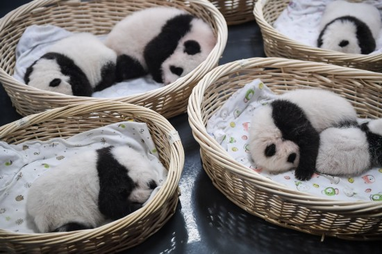 这是在中国大熊猫保护研究中心卧龙神树坪基地拍摄的大熊猫宝宝(9月23日摄)。新华社记者薛玉斌摄