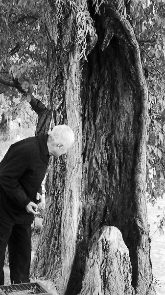 """在颐和园西堤上有十几棵古柳,堪称""""植物文物""""急需救助"""