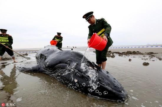 3吨座头鲸江苏启东搁浅 各方紧急营救让其重返大海