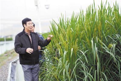 """巨型稻能否承载稻穗的""""未来希望"""""""