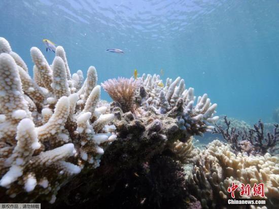 资料图:澳大利亚昆士兰蜥蜴岛发布了大堡礁珊瑚加速白化的照片。