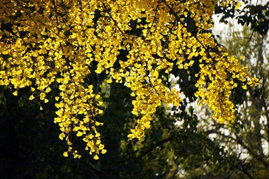 北京深秋醉游人 留住最美的黄叶