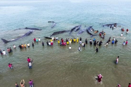 印尼12头巨型抹香鲸搁浅 热心民众纷纷前往营救