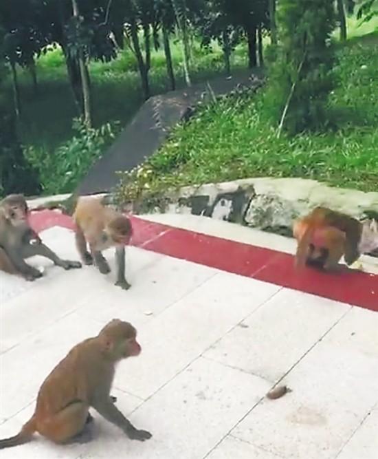 万宁和乐镇六连村现猕猴群 村民热情招待