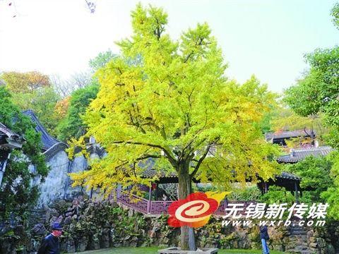 无锡银杏树叶进入变色期 色彩越发绚丽迷人