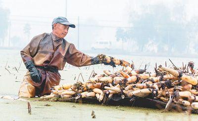 人民日报:南通海安浅水藕种植基地年收益近300万