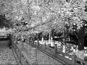 常州红梅公园赏银杏最佳期 落叶将保留半个月
