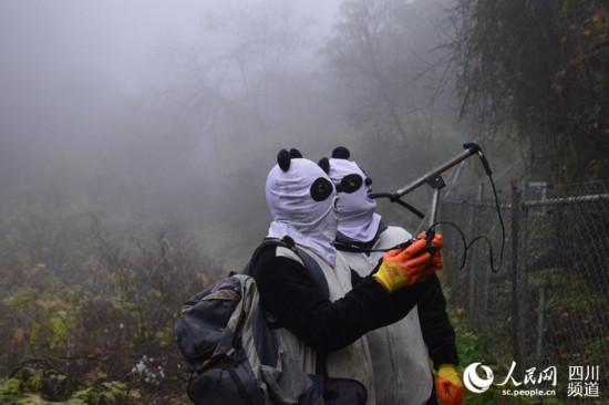 """中国大熊猫保护研究中心成功诱捕即将放归的大熊猫""""八喜""""、""""映雪"""""""