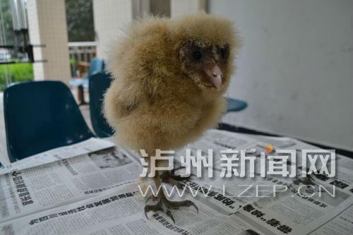 泸县山区发现二级保护鸟类――草�^(分离图)草�^ 大毛