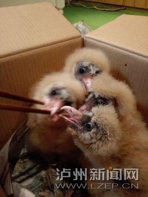 泸县山区发现二级保护鸟类――草�^(分离图)草�^进食2