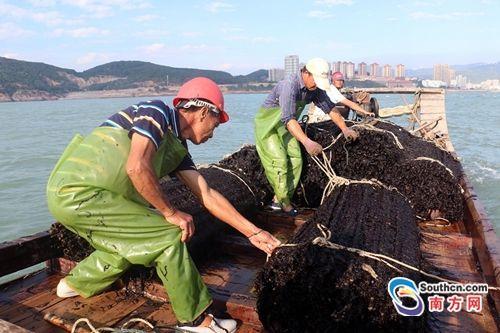 组图:汕头南澳紫菜收获全过程