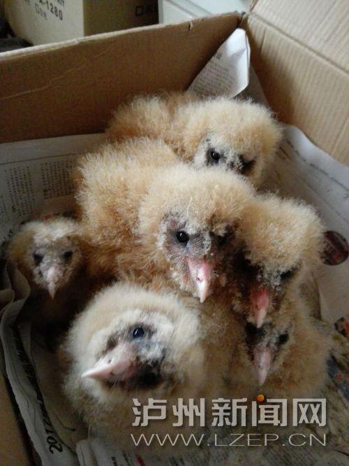 泸县山区发现二级保护鸟类――草�^(分离图)六只草�^1