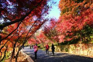红叶树种换妆 南京栖霞山进入赏红叶最佳季
