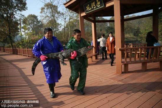 安徽:扬子鳄越冬转场 工作人员10天徒手抓捕上万条扬子鳄【2】