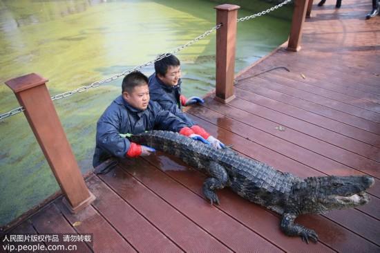 安徽:扬子鳄越冬转场 工作人员10天徒手抓捕上万条扬子鳄【3】
