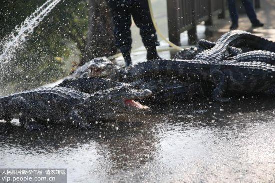 安徽:扬子鳄越冬转场 工作人员10天徒手抓捕上万条扬子鳄【4】