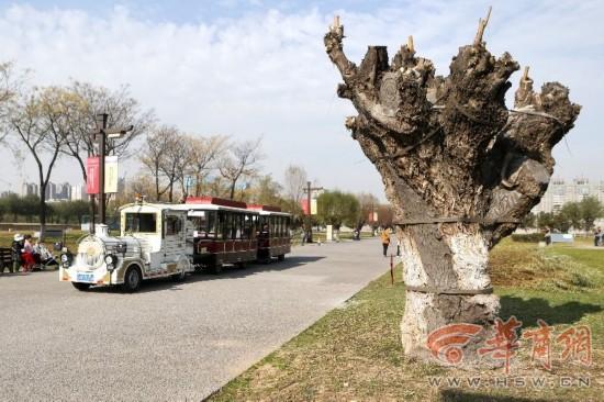 还能活吗?大明宫公园20棵大树被刷水泥捆铁箍