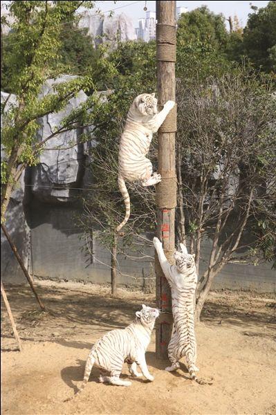 淹城动物园给长颈鹿量身高 巧用食物获数据