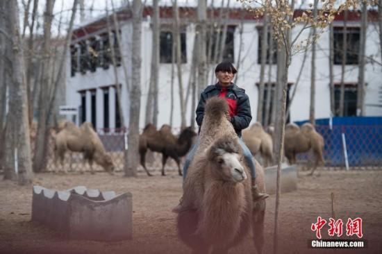 拉萨曲水动物园内饲养的骆驼.何蓬磊 摄
