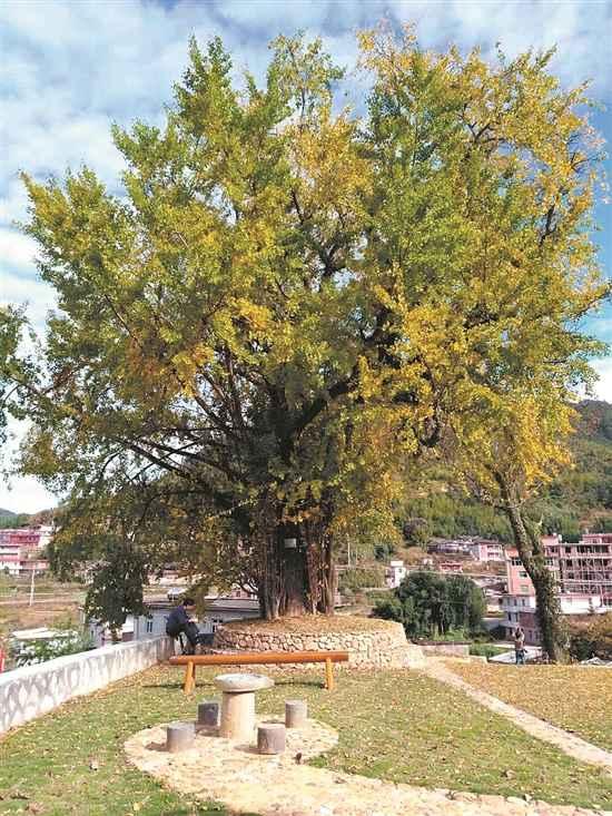 永春县仙夹镇夹际村:银杏树合体拥抱300年