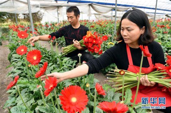 福建连城:温室鲜切花 花开致富路