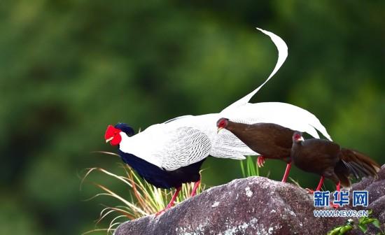 福建南靖:白鹇曼舞 在美丽生态中感受诗意