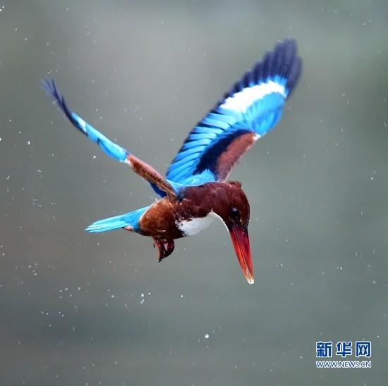 寻找翠鸟家族的美丽身影