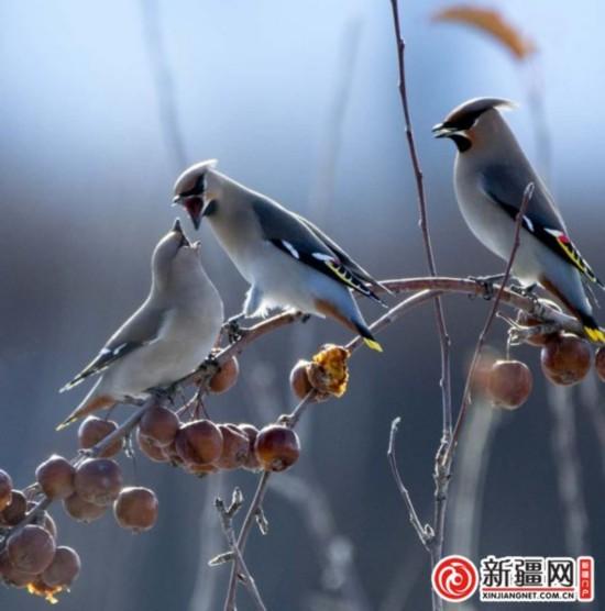 成群太平鸟南山嬉戏