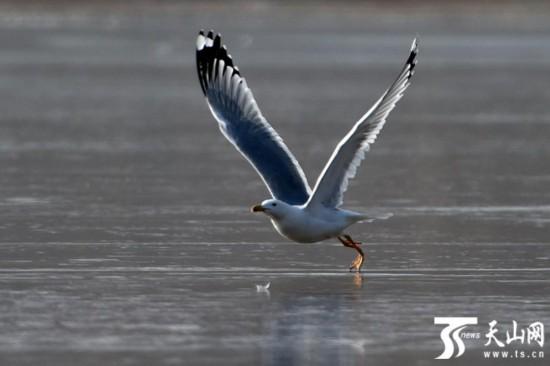 克拉玛依:红嘴鸥上演冰上芭蕾(组图)