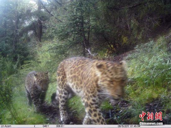 红外相机所拍摄到的金钱豹.山水自然保护中心 供图