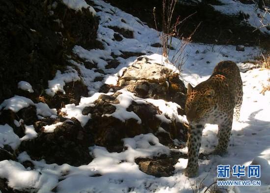 (图文互动)(1)监测显示澜沧江源头地区成金钱豹重要栖息地