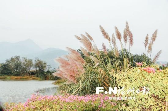 福州花海公园芦花将开放至元旦 市民可前往观赏