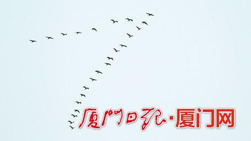 """天空飞过""""人""""字形雁阵?它们是厦门老友鸬鹚啦"""