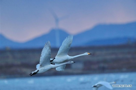 Swans seen in east China's nature reserve