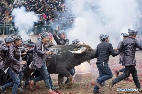 Traditional Bullfight held in Guizhou, China