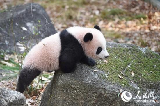 室外玩耍的香香。圖片由上野動物園提供。   人民網東京12月18日電(許永新 滕雪 吳穎 鄭瑾)18日,日本上野動物園舉辦了香香正式展出前的媒體預覽會,來自日本內外的多家媒體參加了預覽會。19日起,香香和媽媽真真將正式與公眾見面。上野動物園誕生的大熊貓幼崽對外展出,是繼1988年的友友之后,時隔29年來第一次。   旅日大熊貓香香大事記   2017年5月18日,日本上野動物園宣布,雌性大熊貓真真出現懷孕征兆。   6月12日,東京上野動物園的雌性大熊貓真真產下一隻幼崽。上
