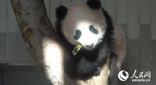 """上野动物园的旅日大熊猫""""香香""""。(许永新  摄)"""
