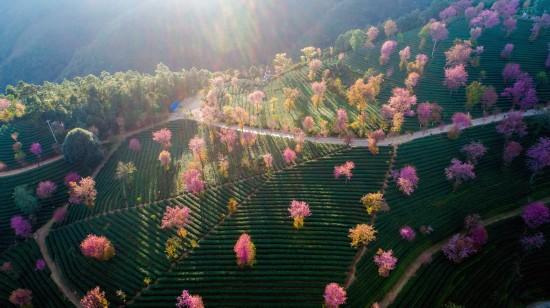 夕阳时分的樱花谷一景(12月16日摄) 。 新华社记者 胡超 摄