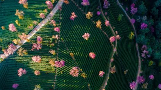 夕阳时分的樱花谷一景(12月16日摄)。 新华社记者 胡超 摄