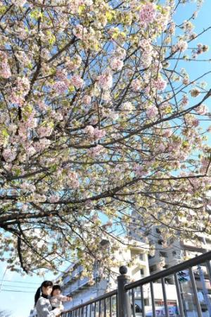 神户市 兵库区 喜马拉雅樱花