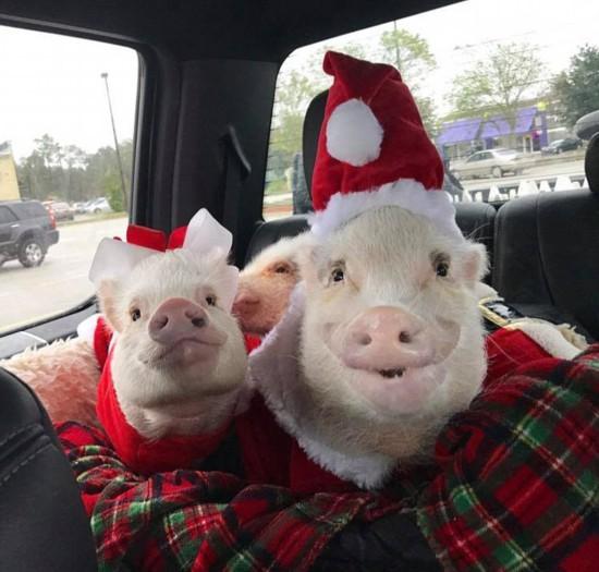 美国两只小猪精心打扮圈粉无数