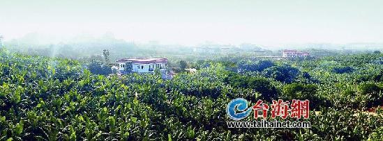 漳州芗城天宝香蕉小镇 已经崭露头角