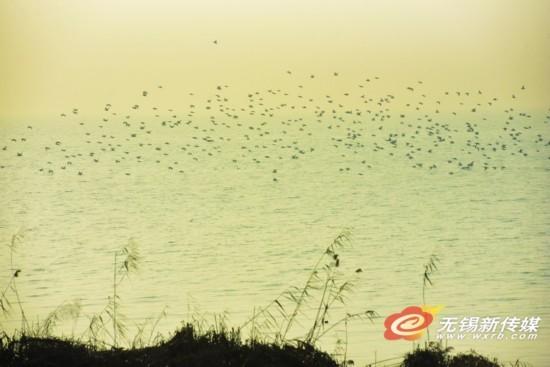 大批候鸟飞临太湖 成无锡冬日迷人风景