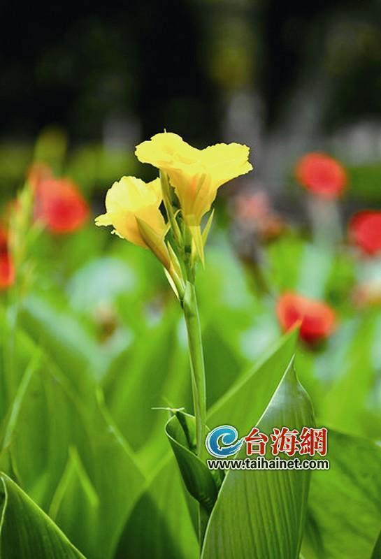 """定了,漳州台商区""""区花""""就是美人蕉!"""