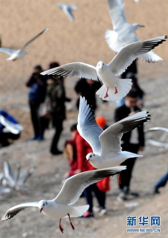 (环境)(2)冬日栈桥观海鸥