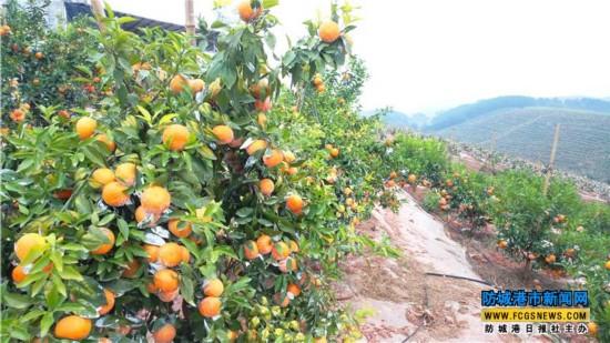 上思县打造特色水果产业 带动群众脱贫致富