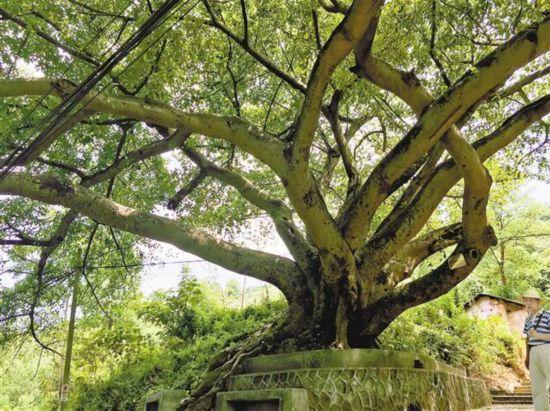 主城323株古树名木等你认养 含12株500岁古树