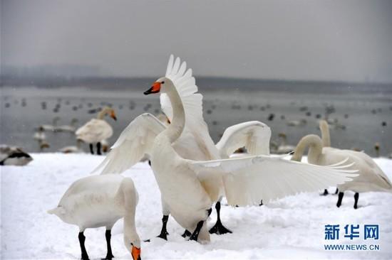 (环境)(5)雪中天鹅舞