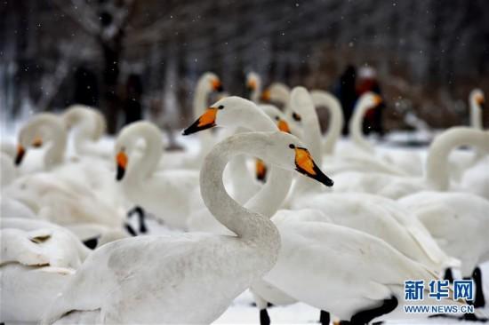 (环境)(4)雪中天鹅舞