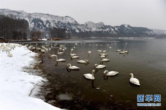 (环境)(2)雪中天鹅舞
